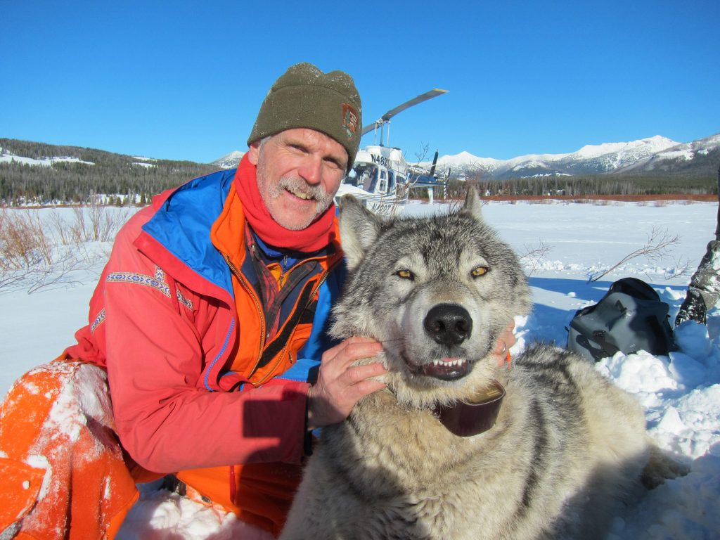 Doug Smith and collared wolf